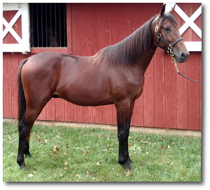 2017 Conformation photo of Gladstone, a promising bay yearling colt out of Queen Victorian