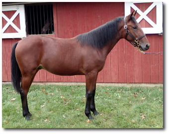 2017 Conformation photo of Shake A Leg, a well balanced bay yearling colt out of Legzy