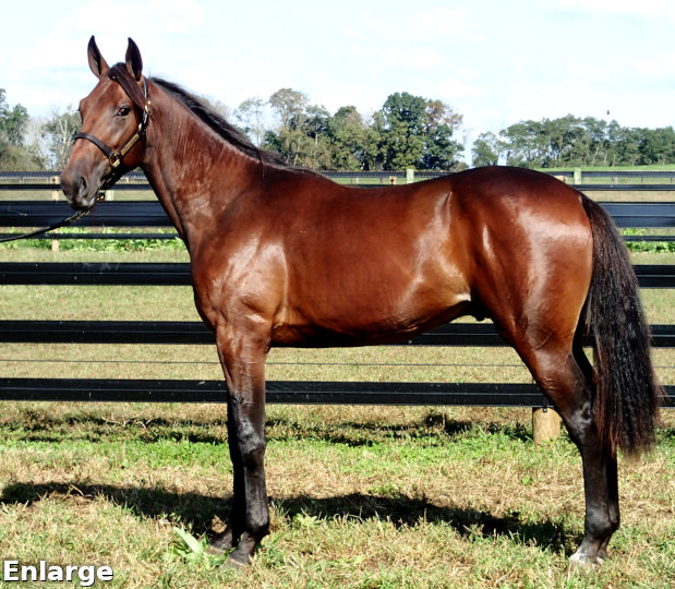 2017 Conformation photo of British Bulldog, an impressive bay yearling colt out of Queen Victorian